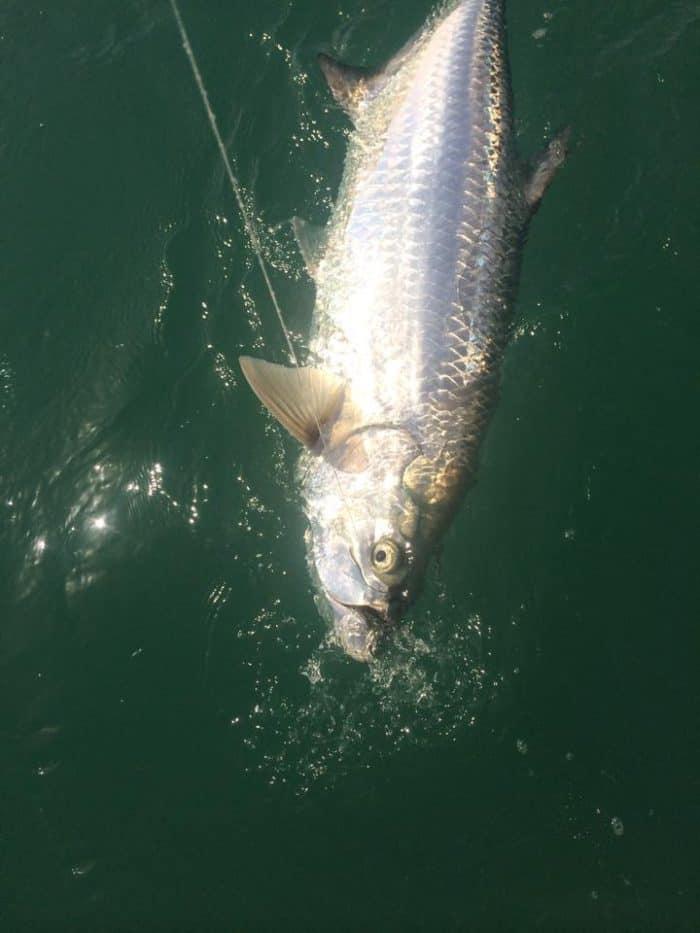 Key west tarpon fishing tarpon fishing charters in the for Key west tarpon fishing